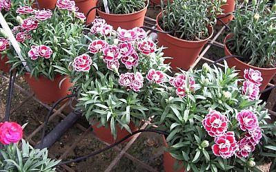 Nursery flowers watered with drip irrigation in Israel. (Martin Fischer/CC/via JTA)