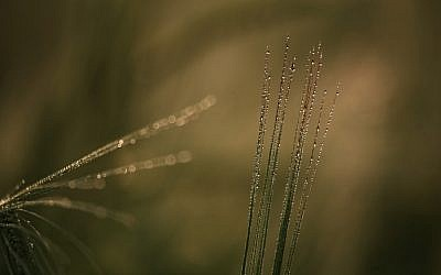A stalk of wheat in a field (photo credit: Doron Horowitz/Flash 90)