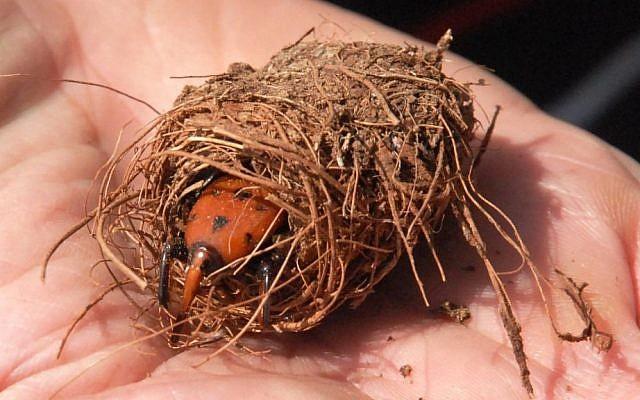 The dangerous beetle, hatching (photo credit: Shimon Biton/Courtesy)