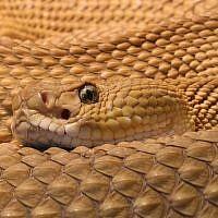 Illustrative photo: A viper (photo credit: CC-BY-H. Krisp, Wikimedia Commons)