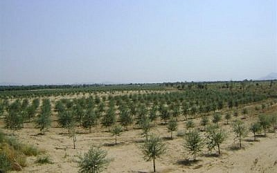 The pilot project has now blossomed into a system of organized olive cultivation in six regions in Rajasthan. (photo credit: courtesy)