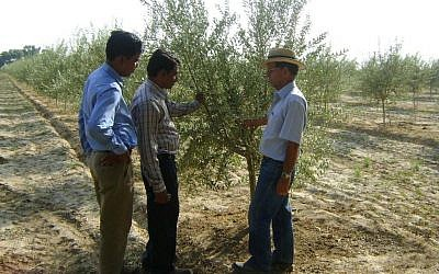 Indian farmers learning Israeli olive expertise in Rajasthan. (photo credit: courtesy)