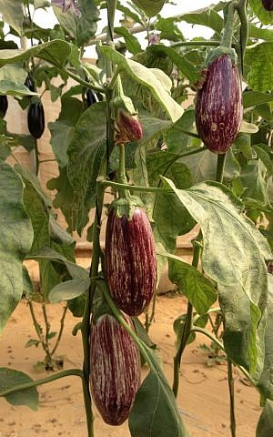 Eggplants on the vine (photo credit: Jessica Steinberg/Times of Israel)