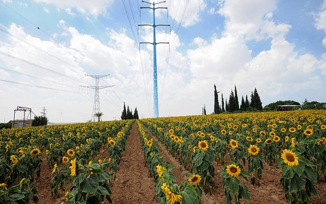 Sunflowers blooming on the Tom and Tomer Hilltop (Courtesy Tom and Tomer)