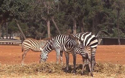 Zebras at Jerusalem's Biblicl Zoo (photo credit: Times of Israel)