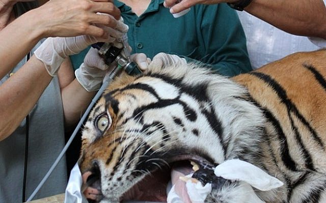 Safari personnel give treatment to Pedang, a 14-year-old male Sumatran tiger suffering from chronic ear problems, at the Ramat Gan safari. June 27, 2013. (Photo credit: Ramat Gan Safari/FLASH90)