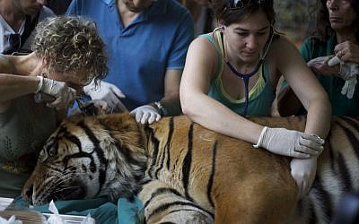 Veterinarian Gila Tzur, left, examines Pedang, a 14-year-old male Sumatran tiger that has been suffering from chronic ear problems, as it goes through a holistic treatment based on acupuncture at different points in his body and ears in the Ramat Gan Safari near Tel Aviv, Israel, Sunday, June 9, 2013. (photo credit: AP/Ariel Schalit)