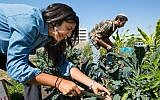 Illustrative: Urban Adamah fellows working on the farm (photo credit: Courtesy of Urban Adamah)