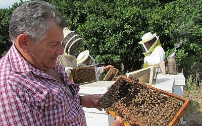 Haim Efrat, head of the Ministry of Agriculture's beekeeping division and one of Israel's foremost experts on the bee, examines a hive. (photo credit: Debra Kamin)
