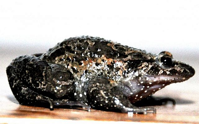 The once extinct Hula painted frog (photo credit: Sarig Gafny/Courtesy)