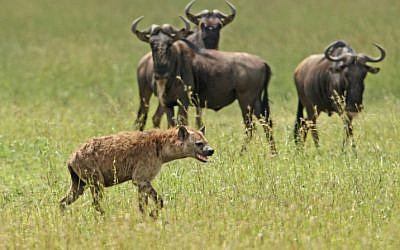 A Hyena stalks wilderbeasts in the Serengeti (photo credit: Haim Shohat/Flash90)