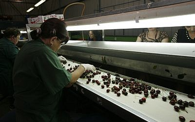 Workers at a cherry factory in a West Bank settlement. May 25, 2009. (photo credit: Miriam Alster/Flash90)