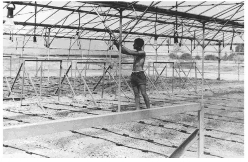 First drip irrigation device in an old greenhouse, Kibbutz Hatzerim, Israel, 1967 (Photo credit: Courtesy Netafim)