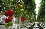 A net greenhouse in Los Pinos, Mexico, the largest greenhouse tomato project in the country, developed with Israel's Netafim drip irrigation and greenhouse technology. (courtesy, Netafim)