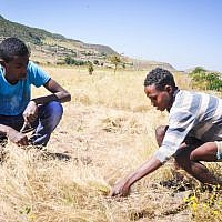 Buyota Mengisto learns about culling teff, a popular grain in Ethiopia, from a local shepherd (photo credit: Michal Shmulovich/ToI)