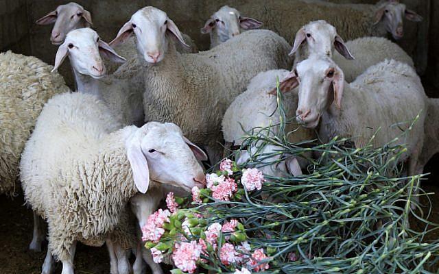 Illustrative: Sheep feed on carnations, April 26, 2013.  (Abed Rahim Khatib/Flash90)