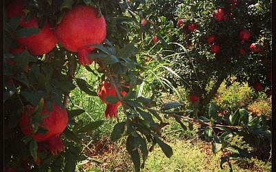 The ruby-red Rosh Pered pomegranates, growing near Binyamina, just north of Caesaraea (photo credit: Jessica Steinberg/Times of Israel)