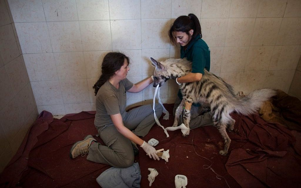 Workers at the wildlife hospital in Ramat Gan treat an injured hyena (photo credit: Uriel Sinai)