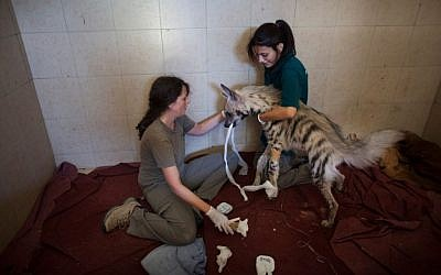 Workers at the wildlife hospital in Ramat Gan treat an injured hyena (photo credit: Uriel Sinai)