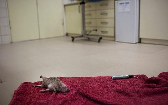 A hedgehog awaits treatment at the emergency room of the wildlife hospital in Ramat Gan (photo credit: Uriel Sinai)