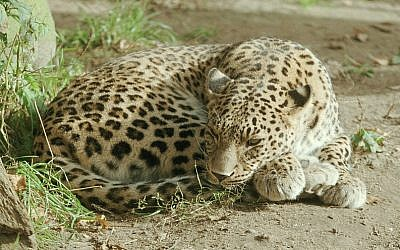 A leopard at the Hannover Zoo in Germany. (Photo credit: Ralf Schmode/Wikimedia)