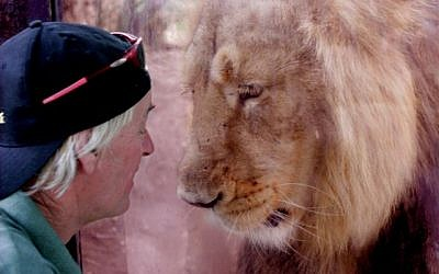 Chief Carnivore Keeper at the Jerusalem Biblical Zoo Dennis Smith with Lider the lion. (photo credit: Jerusalem Biblical Zoo/Tal Naveh)