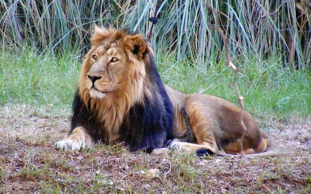 Illustrative photo of male lion (photo credit: Jerusalem Biblical Zoo/Yarah Tamari)