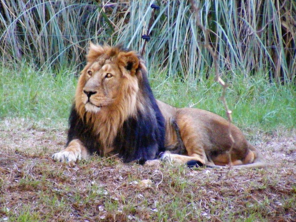 lions - photo #21