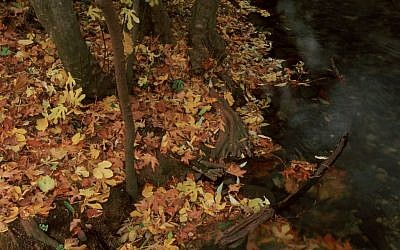 A floor of fallen leaves in Metulla (photo credit: Doron Horowitz/Flash 90)