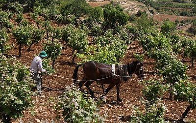 A Palestinian farmer uses a handplow and a horse to work on his vinyard in the West Bank near the Jewish settlement of Efrat, on May 8, 2013. (Photo credit: Gershon Elinson/Flash90)