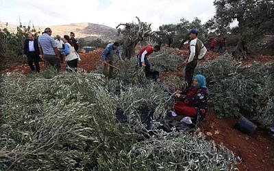 Palestinians inspect their destroyed olive trees at the village of Qaryout near Nablus, October 19, 2013 (photo credit: Issam Rimawi/Flash90)