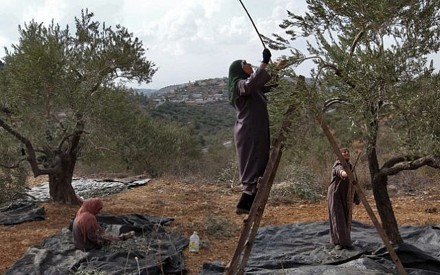 Illustrative photo of Palestinian women picking olives. (Nati Shohat/Flash90)
