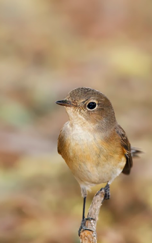 The red-breasted fly catcher, 'caught' by birder Yoav Perlman (photo credit: Yoav Perlman)