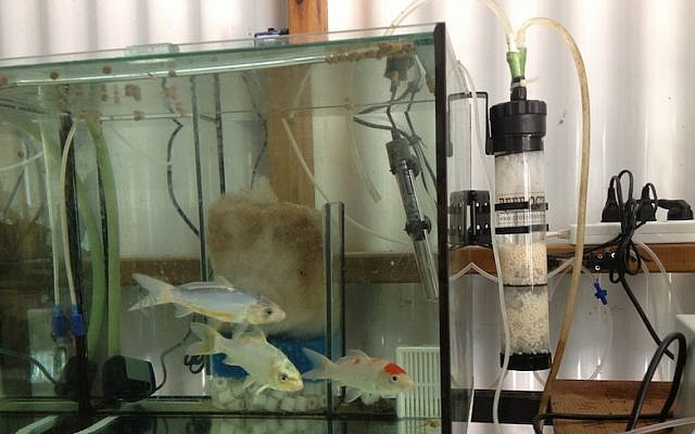 An aquarium outfitted with a Hebrew University-developed  bio-filter to reduce nitrate levels (Photo credit: Courtesy)