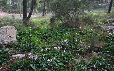 Cyclamen in bloom at Angels' Forest (photo credit: Shmuel Bar-Am)