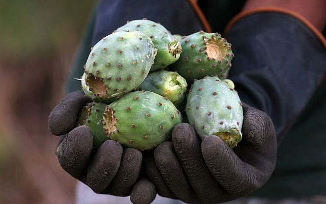 Fruit from the sabra cactus plant. (photo credit: Issam Rimawi/Flash90)