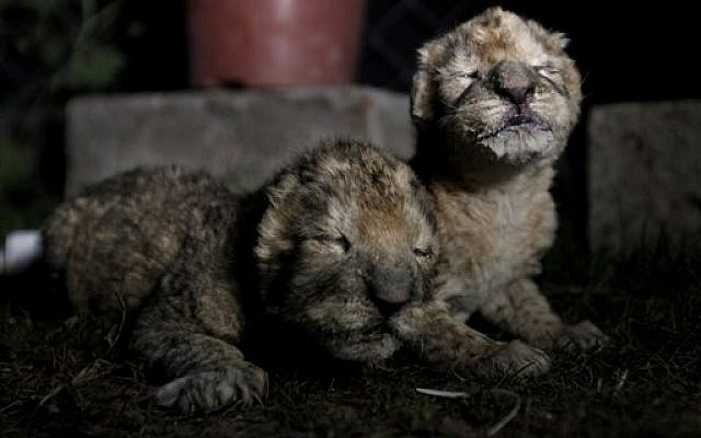 African lion cubs, Fajr, right, and his sister, Sejeel, left, rest after feeding at a zoo in Beit Lahiya, northern Gaza Strip. Authorities said the pair have died. (photo credit: AP Photo/Hatem Moussa, File)