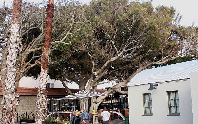 HaTahana restaurants and ficus tree (photo credit: Shmuel Bar-Am)