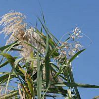 Reeds, Huleh Nature Reserve (photo credit: Shmuel Bar-Am)