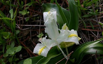 Irises in bloom (photo credit: Shmuel Bar-Am)