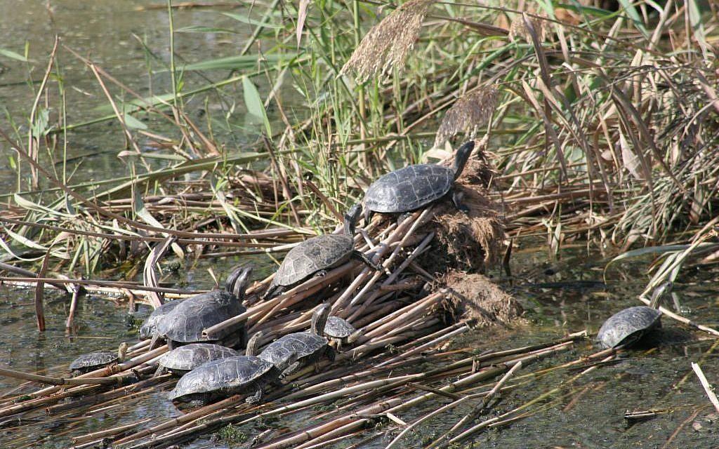 Turtles at the Huleh Nature Reserve (photo credit: Shmuel Bar-Am)