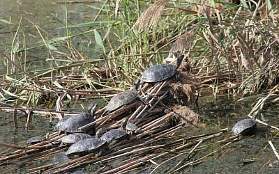 Turtles at the Huleh Nature Reserve (photo credit: Shmuel Bar-Am)