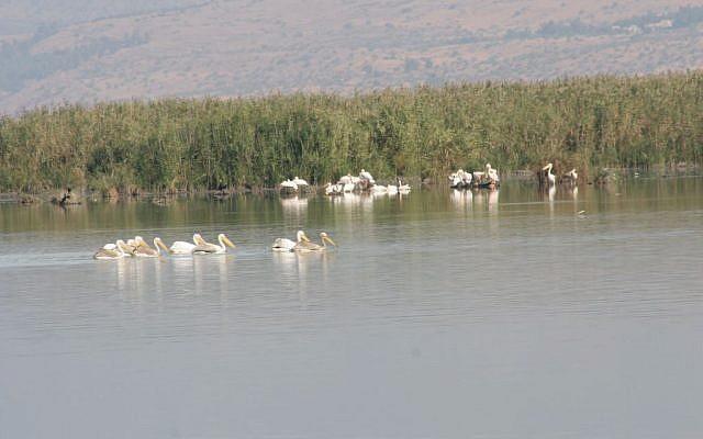 White pelicans at Huleh Nature Reserve (photo credit: Shmuel Bar-Am)