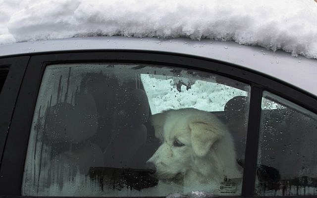 A dog looks out the window of a car covered in snow after a major snow storm that hit Jerusalem on Friday. (photo credit: Meital Cohen/Flash 90)
