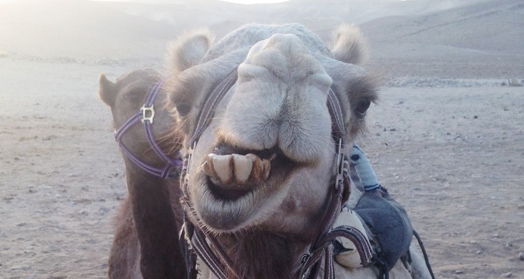 Saying hello to a camel. (photo credit: StandWithUs)