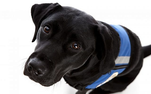 A guide dog. (photo credit: Shutterstock)