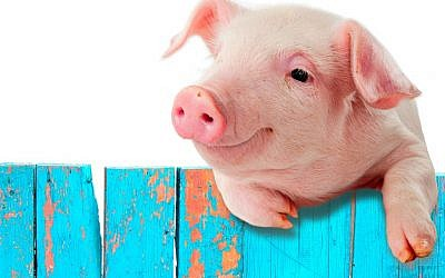 Illustrative (Pig via Shutterstock)