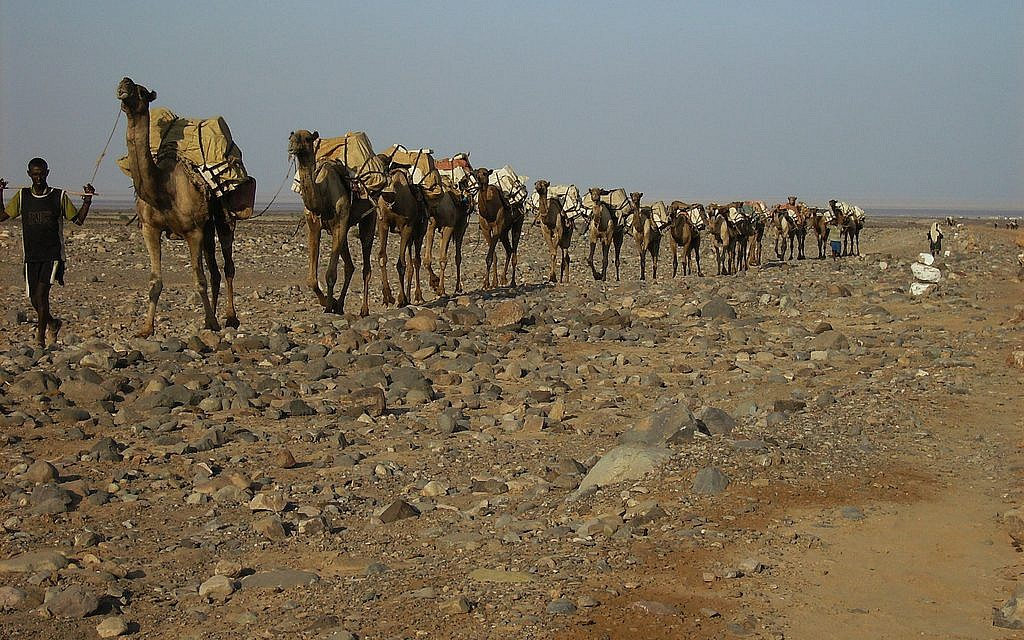 A camel train in the Danakil desert of Ethiopia. (photo credit: CC BY  Achilli Family | Journeys, Flickr)
