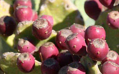 The fruit of prickly pears (sabras), one of the 'raw materials' used by flavoring and fragrance companies to enhance hundreds of food and consumer products (Photo credit: Anna Kaplan/ Flash90 )