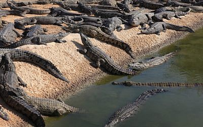 Crocodile farm in Israel. November 21, 2011. (photo credit: Liron Almog/FLASH90)